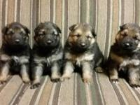 These beautiful puppies are plush coat and are west
