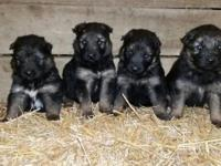 These amazing puppies are long coat and are a nice
