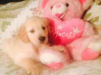 I have one women gold retriever puppy delegated sale.