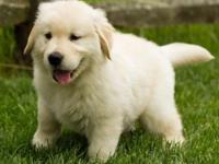 Registered Golden Retriever Puppies Golden Retriever ,