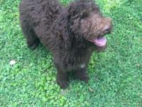Bo is a rare chocolate f1b goldendoodle. He has nice