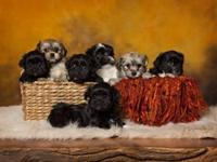 3 adorable male Havanese puppies. Hypoallergic, non