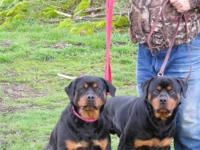 I have one male and three female outstanding rottie