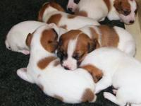 Registered Jack Russell Terrier puppies looking for