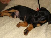 FINN is a smooth coated male Jagd Terrier male puppy