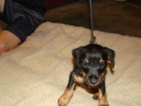 REGISTERED JAGD TERRIERS...little black furballs with
