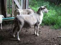 Two Registered Katahdin Rams For Sale: One Two-Year-Old