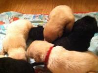 I HAVE REGISTERED LAB PUPPIES ,YELLOW &BLACK WILL BE