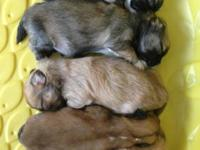 Registered Lhasa Apso Puppies DOB December 6, 2012