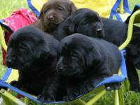 Beautiful purebred Labrador Retriever Puppies, CKC