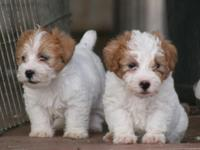 Adorable Full Rough and Rough coat puppies available