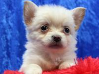 Registered Longhair Chihuahua Puppies for sale Shots