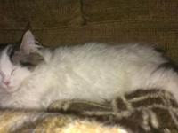 Registered Maine Coon kittycat, brown tabby high white,