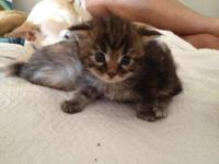 PUREBRED TICA REGISTERED MAINE COON KITTENS FOR