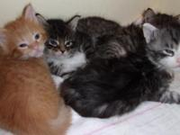 CFA Registered maine coon kittens  males & females