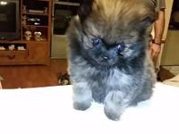 Registered pomeranian male puppy. Utd on shots and both