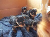 Cute Registered Toy Yorkies! $250 deposit will hold
