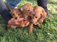 5 short haired mini dachshund ready for their forever