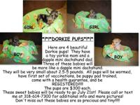 I have 3 dorkie pups for sale! they have a mini
