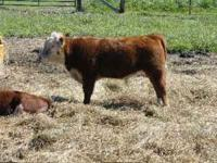 Two registered miniature hereford cows with calves at