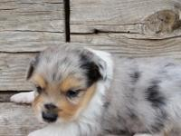 Mini & Toy Aussies, located in Delta, Co. (970)