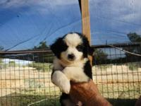 Lovely healthy puppies, females and males, signed up