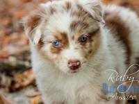 Charming Mini Aussie young puppies. Very carefully bred