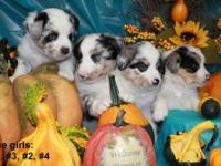 We have a great Litter of Reg. Miniature Australian