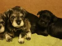 Registered Miniature Schnauzer Puppies. These are