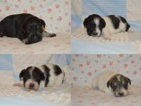 Call . Registered Miniature Schnauzer puppies. We