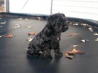 Registered Miniature Schnauzer Puppies. Ready for their