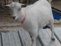 This is a white blue eyed Nigerian Dwarf doeling. She