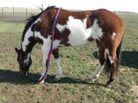 Chexy is a 10 yr old registered Overo Paint Mare stands