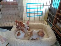 Tiny little Party colors chihuahua puppys for sale.