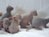 5 Sphynx kittens , 3 cream girl and 2 tortie boy.