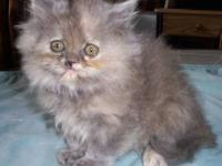 Registered Persian Kittens, Black,Blue,Blue Cream &