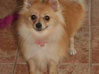 One female cream colored 7 pound Pomeranian born April