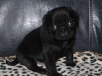 SIGNED UP PUG PUPPIES AVAILABLE FOR NEW HOMES NOW.