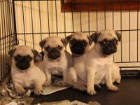 Registered Pug Puppies - Fawn Colored - Males, and