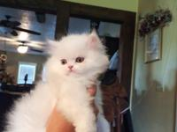 Beautiful Registered Pure White Doll Faced Blue