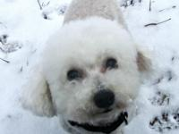 Dolly is my Registered Purebred Bichon Frise. She has