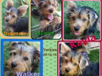 These CKC registered purebred Yorkies are 17 weeks old
