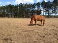 Dusty is a 12 year old registered QH. He is sorrel,