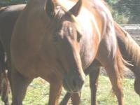 Mare: ?VA Dust In The Wind? ? AQHA / 92% NFQHA ?