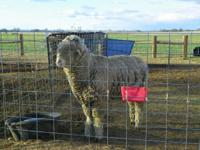 Registered Rambouillet Ram for Sale or Trade - Will