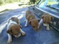 I have a litter of apricot/ white rat terrier young