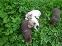 I have some blue merle and chocolate merle young