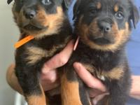 AKC Registered Rottweiler puppies, only 4 females and 4