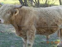 I have a beautiful, registered Scottish Highland bull