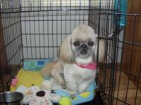 I have a multi color Shih-Tzu for sale he is a great